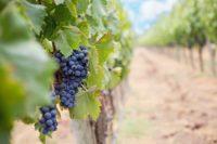 A Man Planted a Vineyard on a Fertile Hillside
